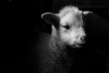 Dramatic Lamb (Black & White) Fotografie-Druck von Michael Neil O'Donnell