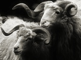 Wallachian Sheep Fotoprint van just for fun