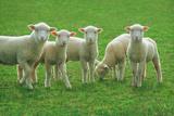 Lambs, near Werribee, Victoria, Australia Impressão fotográfica por Peter Walton Photography