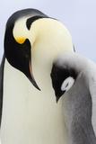 Emperor Penguin(Aptenodytes Forsteri) Looking at Chick Fotografie-Druck von David Tipling