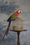 Scarlet Macaw (Ara Macao) Sitting on Cage Lámina fotográfica por Rosanne Olson