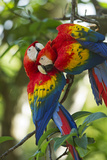 Scarlet Macaws, Costa Rica Reproduction photographique par Paul Souders