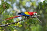 Scarlet Macaw, Costa Rica Fotografisk tryk af Paul Souders