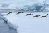 Emperor Penguin, Aptenodytes Forsteri Fotografisk tryk af Raimund Linke
