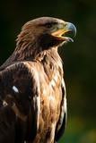 Golden Eagle Portrait Fotoprint av Olaf Broders