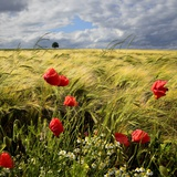 Poppies and Barley Field Photographic Print by pierre hanquin photographie
