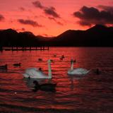 Swans at Derwentwater Impressão fotográfica por photography by Linda Lyon