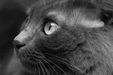 Gray Cat Photographic Print by Konstantin Tvabin