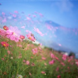 Cosmos Field Photographic Print by  setsuna