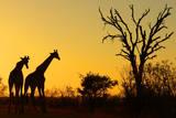 Sunrise in African Bush Fotografie-Druck