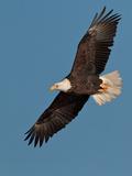 Águila calva Lámina fotográfica por Straublund Photography