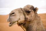 Portait of a North African Camel (Camelus Dromedarius) Morocco, North Africa Fotografisk trykk av Ben Queenborough