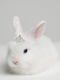White Bunny Rabbit Wearing Tiara, close Up, Studio Shot Fotografisk tryk af Roger Wright