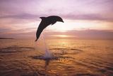 Dolphin, Tursiops Truncatus, Leaping from Surface of the Sea. Fotografisk trykk av Mike Hill