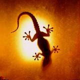 Artistic Backlight Shot of a Gecko, Nicely Shaped. Fotografisk tryk af Sir Francis Canker Photography