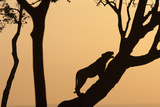 Lioness on a Tree at Dawn - Silhouette Fotografisk tryk af Anup Shah
