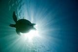 Sea Turtle Fotografie-Druck von M.M. Sweet