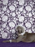 Weimaraner (Canis Lupus Familiaris) on Purple. Fotoprint van Catherine Ledner