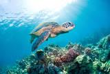 Sea Turtle Fotografisk tryk af M.M. Sweet