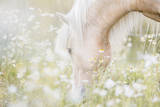 Beautiful Icelandic Horse Grazing among White Flow Photographic Print by Nina Bergstrand