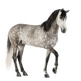 Andalusian with Front Leg Up Photographic Print by Life on White