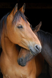 Head Shot of Horse and Pony Hugging on Dark B/G Fotografisk tryk af Anne Louise MacDonald