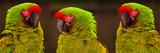 Military Macaws.Ara Militaris Stampa fotografica di Raj Kamal