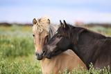 Icelandic Horse Fotografisk tryk af Gigja Einarsdottir