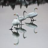 Swanlake Impressão fotográfica por  Photograph