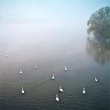 Swans in Log on River Neckar Impressão fotográfica por Ulrich Mueller