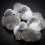 Baby Swans Impressão fotográfica por  Roverguybm