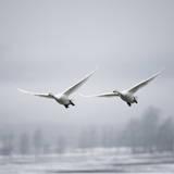 Whooper Swan (Cygnus Cygnus) Impressão fotográfica por Roine Magnusson