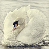 Swan Causing Bow Wave Impressão fotográfica por  BlackCatPhotos