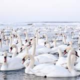 Massive Amount of Swans in Winter Impressão fotográfica por Mait Juriado photo