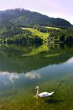 Swan on Lake Grundlsee, Steiermark, Austria, July 2010 Photographic Print by Elfi Kluck