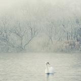 Swan in Fog Impressão fotográfica por Samantha Nicol Art Photography