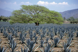 Huanacaxtle Tree in a Field of Young Blue Agave Plants, Tequila, Jalisco, Mexico Stampa fotografica di Mark D Callanan