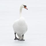 Beautiful Swan on Ice Impressão fotográfica por  BlackCatPhotos