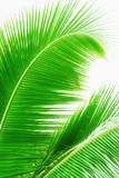 Mexico, Yucatan, Palm Leaves Reproduction photographique Premium par Tetra Images