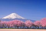 Fuji and Sakura Fotografisk trykk av Peerapat Tandavanitj