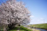 Sakura - One Year After Fotografie-Druck von JUNICHI HAYAKAWA