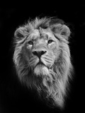 The King (Asiatic Lion) Reproducción de lámina sobre lienzo por Stephen Bridson Photography