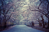 Cherry Blossoms Trees Photographic Print by Vivienne Gucwa