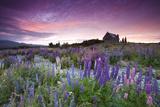 Summer Lupins at Sunrise at Lake Tekapo, NZ Reproduction photographique par Atan Chua