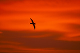 Southern Giant Petrel in Flight at Sunset Reproduction photographique