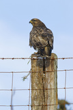 Common Buzzard on Fence Post Reproduction photographique