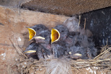 Young Swallows on the Nest Reproduction photographique