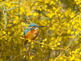 Common Kingfisher Perched in Yellow Flowering Reproduction photographique