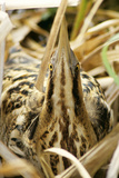 Bittern at Nest, in Reeds Reproduction photographique