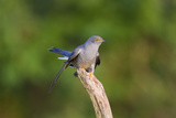 Cuckoo on Flight Perch Reproduction photographique